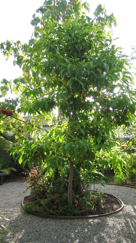 plantfiles pictures white chak pak ian fragrant