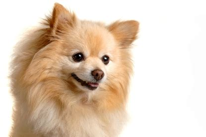 pomeranian breed history pomeranian history and health