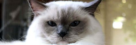 ragdoll cat breed cat pictures information ragdoll information health pictures training pet paw