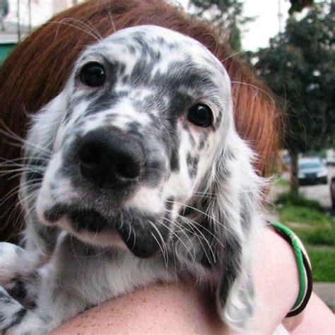 english setter dog kennels 18 best english setter images on pinterest english