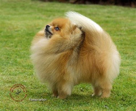 hair pomeranian for sale wallpapers pomeranian puppies pet pomeranian pictures haircuts wallpapers