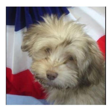 havanese breeders tennessee havanese breeders in tennessee freedoglistings