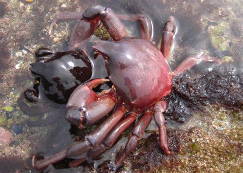 Southern California Crustaceans The Heiress Crab by Southern Kelp Crab Globose Kelp Crab Taliepus Nuttallii