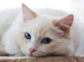 the cream point ragdoll mitted colorpoint bicolor amp lynx