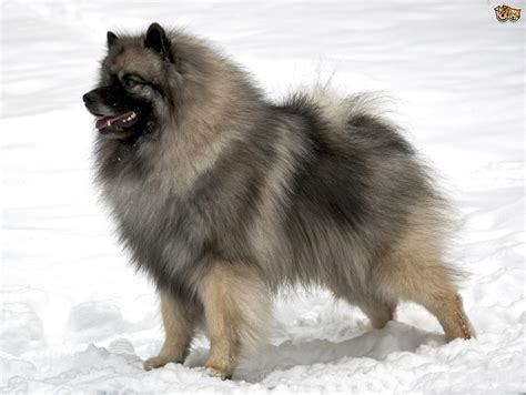 dogs is is the keeshond a choice of pet pets4homes