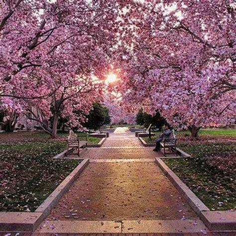 washington d c cherry trees cherry blossom trees in washington dc photos upi and car photos