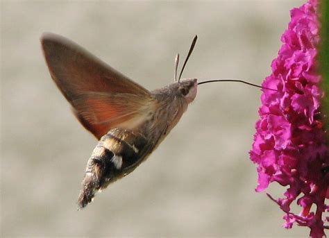 related keywords suggestions for hummingbird hawk moth
