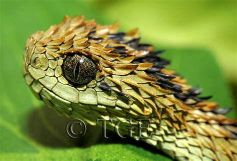 calphotos atheris hispida hairy bush viper