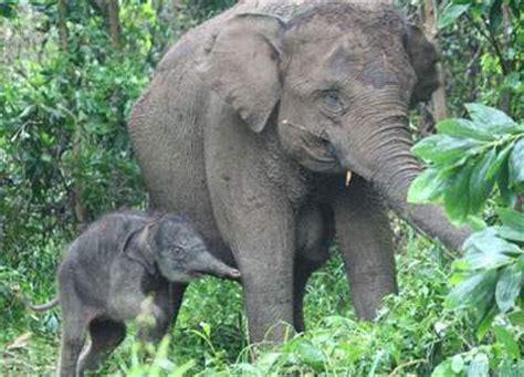 gambar binatang gambar gajah