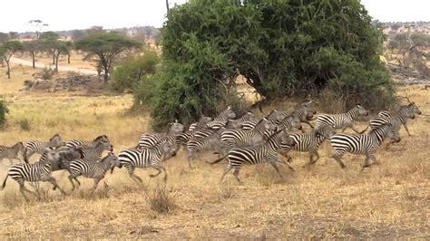 Boneka Bantal Running Serengeti Animal Kingdom pics for gt jumanji stede rhinoceroses elephants zebras
