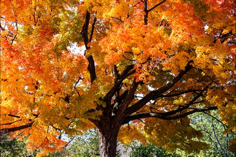 maple tree name in sugar maple tree facts