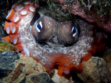 octopus l biologists just discovered an underwater octopus city