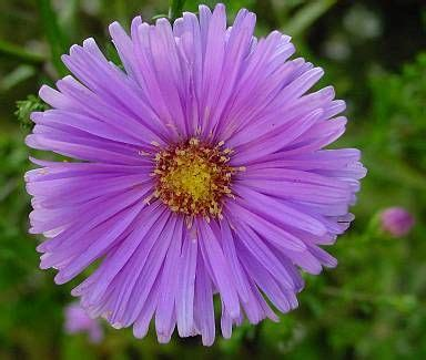 fiori astri fiore di settembre fare di una mosca