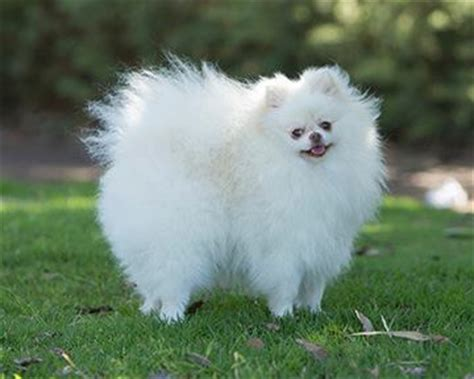 pomeranian span your pomeranian s lifespan pomeranian facts care pictures