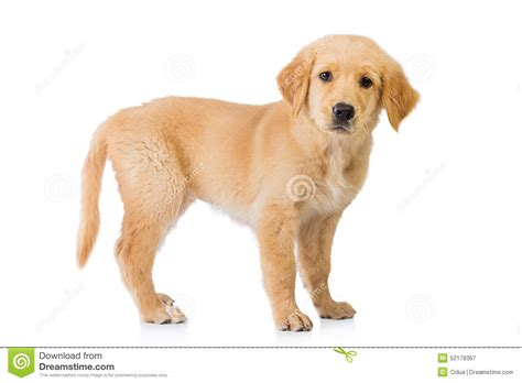 golden retriever up golden retriever standing isolated in white background