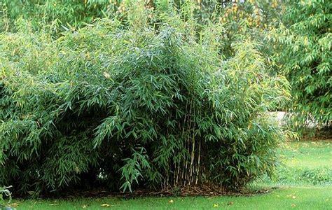 Garten Bambus Jumbo Kaufen by Gartenbambus Jumbo Fargesia Murieliae Jumbo G 252 Nstig