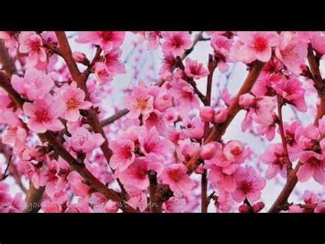 lucio battisti fiori rosa fiori di pesco lucio battisti fiori rosa fiori di pesco lyrics