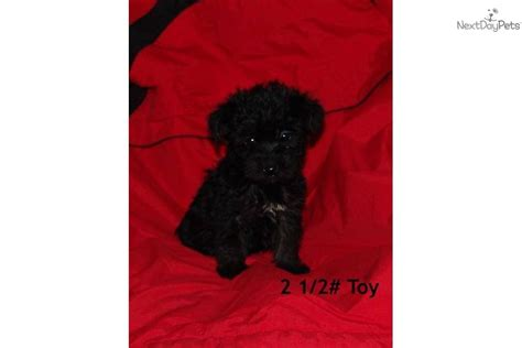 miniature yorkie poo puppies for sale 6 week boxer puppies book covers