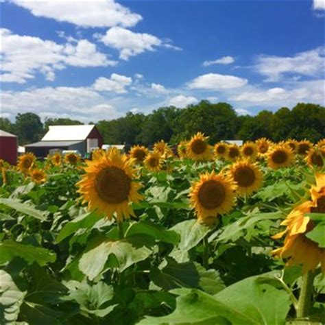 sunflower field in kansas sunflower field ted duboise grinter s sunflower farm 16 photos farms 24154