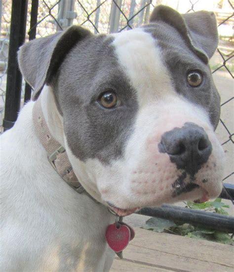 blue pitbull puppies for adoption available for adoption titania missouri pit bull rescue