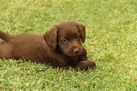 labrador doodle puppies for sale for sale labradoodle puppies labradoodle x labrador