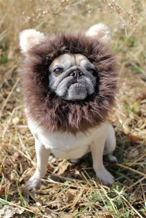 pugs and lions pug slope 187