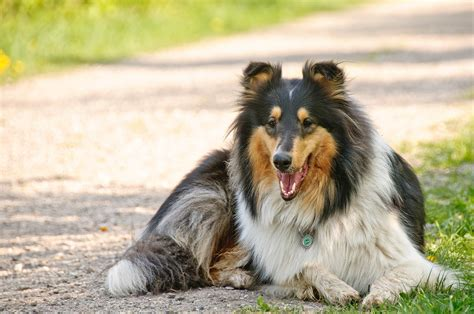loyal dogs the top 10 most loyal breeds