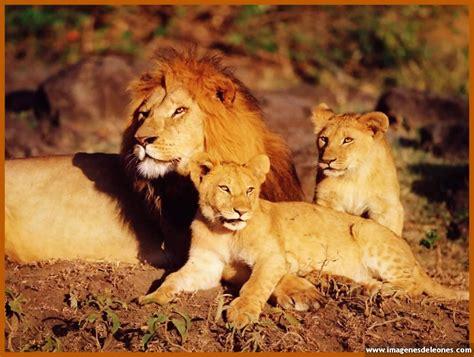 imagenes de leones fuertes fotos de leones en caricatura divertida imagenes de leones