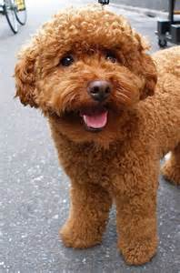 haircutsfordogs poodlemix 25 best ideas about poodle haircut on pinterest