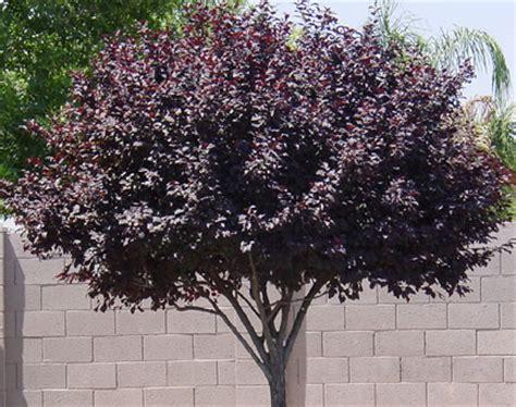 purple leaf trees identification arizona trees arizona living landscape design