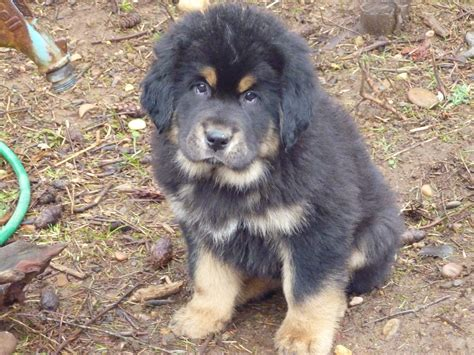 puppy mastiff tibetan mastiff puppies sunset tibetan