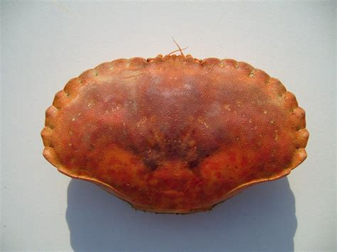 File:Large edible crab carapace.jpg - Wikimedia Commons
