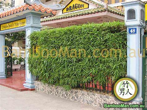 Best Backyard Trees For Privacy Buddha Belly Bambusa Vulgaris Wamin Bamboo Whitsunday