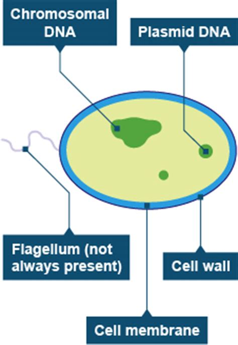 bacterial cell diagram labeled yr 8 cells rgs science