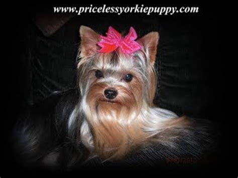 yorkies for cheap in new york why are yorkies so expensive priceless yorkie puppy