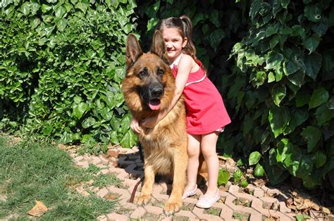 are german shepherds family dogs 10 reasons why german shepherd is a family pets world