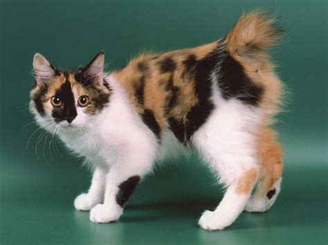 Kurilian Bobtail: Pictures, Personality, and How to Care