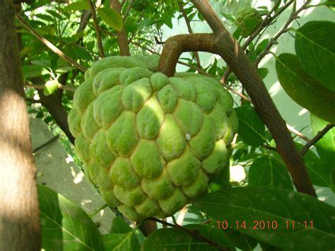 custard apple fruit tree 301 moved permanently