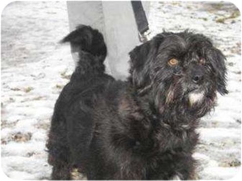 scottish terrier shih tzu mix blair adopted 12496197 delaware oh scottie scottish terrier shih tzu mix