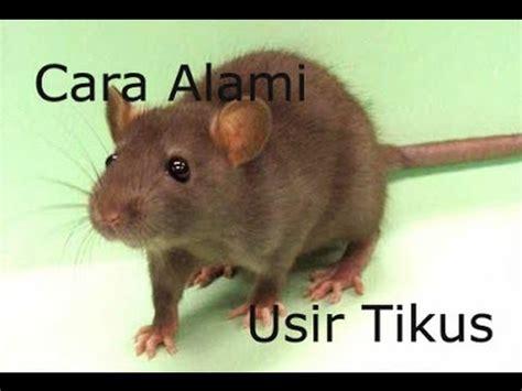 cara membuat perangkap tikus alami cara alami mengusir tikus l tips kesehatan youtube