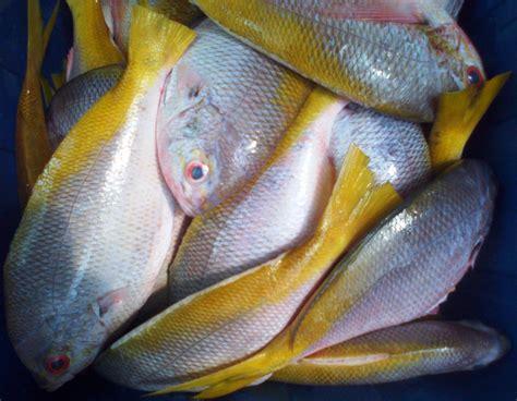 Jual Pancing Ikan Murah jual ikan ekor kuning harga murah kota tangerang oleh