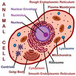 animal cell coloring sheet animal cell model diagram project parts structure labeled