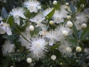 Flowering Shrubs For Shade - myrtle garden in delight