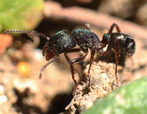 green head ant wikipedia