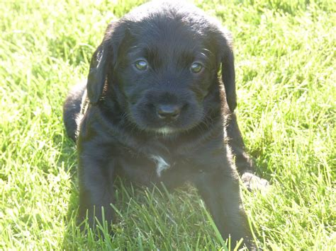 black labradoodle puppies for sale black labradoodle puppies for sale craven arms shropshire pets4homes