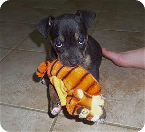 golden retriever boston terrier mix lonnie adopted puppy 1502 chattanooga tn boston terrier labrador retriever mix