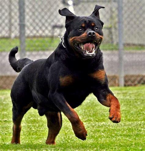 rottweiler dangerous 10 most dangerous breeds in the world