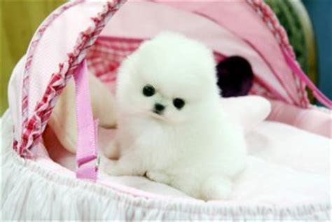teacup pomeranian puppies for sale in alabama dogs birmingham al free classified ads