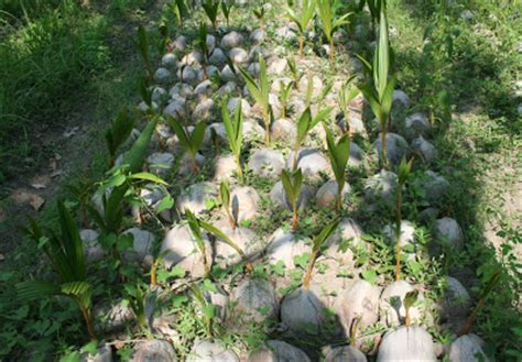 Jual Bibit Bunga Di Yogyakarta bibit kelapa jual bibit kelapa di yogyakarta