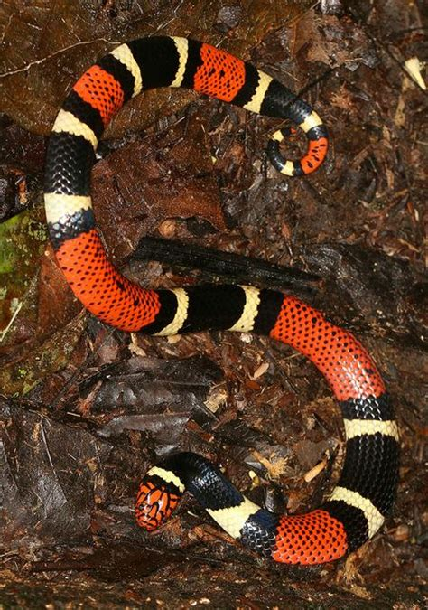 coral snake pattern 17 best images about serpientes on pinterest pit viper